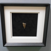 shark-tooth-fossil